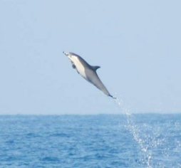 A dolphin catches some air. They are quite playful and like to ride the waves from the boat.