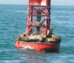Buoys are a favorite resting place for sea lions.